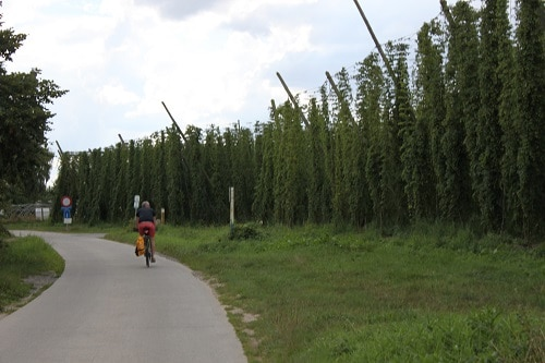Plantações de lúpulo para a Westvleteren.