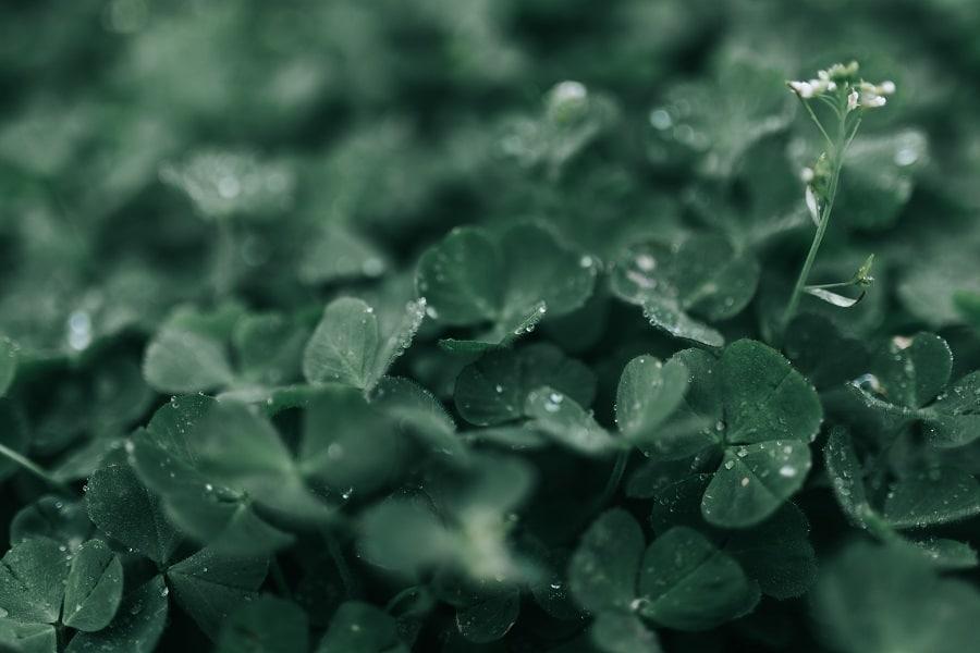 O trevo de três folhas conhecido na Irlanda como Shamrock