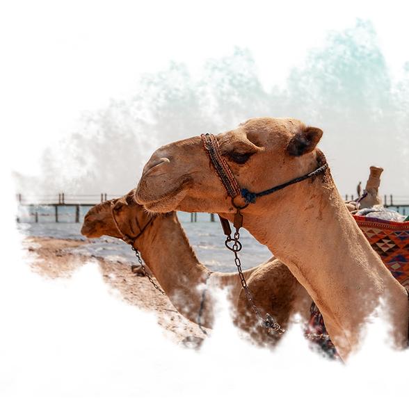 Camêlos no Egito